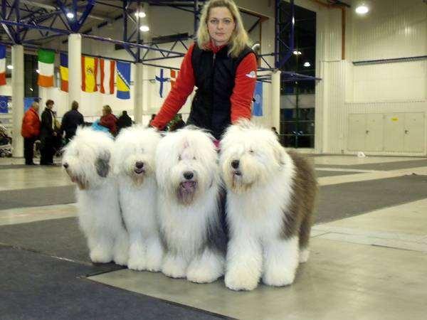 Бобтейлы, староанглийские овчарки на выставке, фото собаки, фотография породы собак