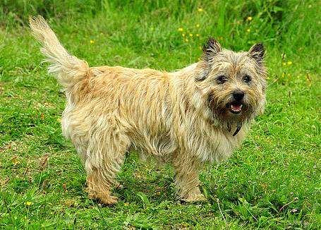 Керн терьер, фото породы собак фотография