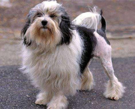 Львиная собачка, львиная собака, левхен, фото породы собак фотография