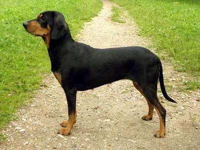 Латвийская гончая, фото породы собак фотография