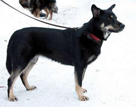 Лапинкорокойра, лопарская оленегонная собака, лапинпоройра, фот породы собак фотография