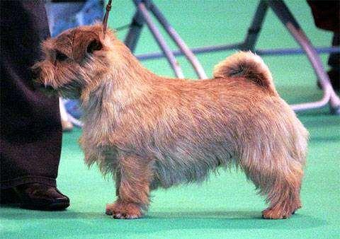 Норфолк-терьер, норфолкский терьер, фото породы собак фотография