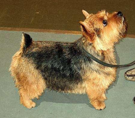 Норидж-терьер, норвич-терьер, фото породы собак фотография