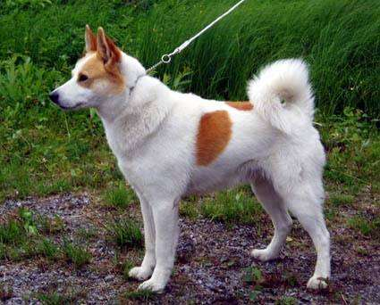 Норрботтенская лайка, норрботтенспетс, фото породы собак фотография