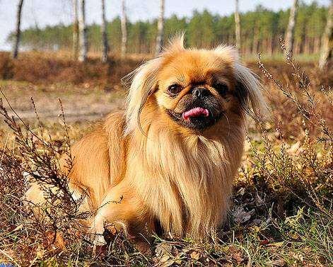 Пекинес фото породы собак фотография