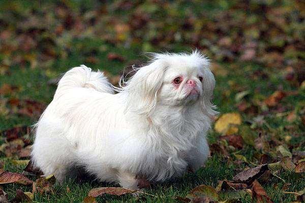 Пекинес, фото породы собак фотография