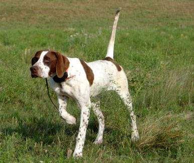 Пойнтер, фото породы собак фотография