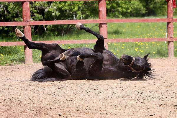 Лошадь валяется на земле, фото лошади, фотография
