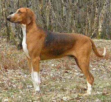 Пуатвинская гончая, фото породы собак фотография