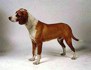 Посавская гончая, фото породы собак фотография