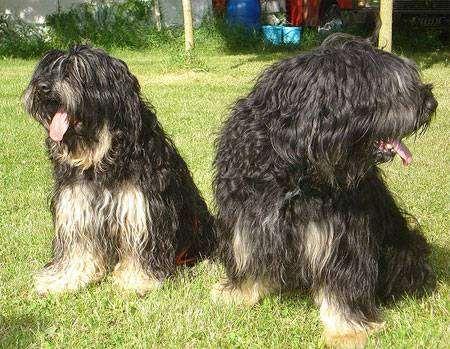 Сао да Серра де Эйре, португальская овчарка, фото породы собак фотография