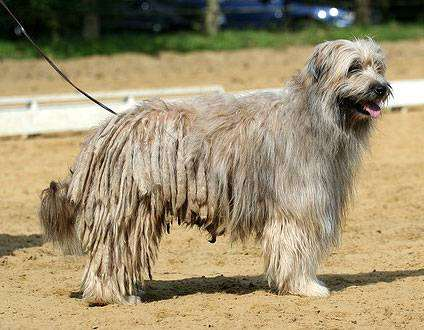 Пиренейская овчарка, овчарка пиренейская, фото породы собак фотография