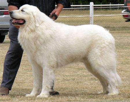 Горная пиренейская собака, фото породы собак фотография