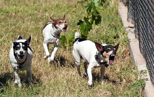 Рэт-терьер (терьер-крысолов), породы собак фото фотография