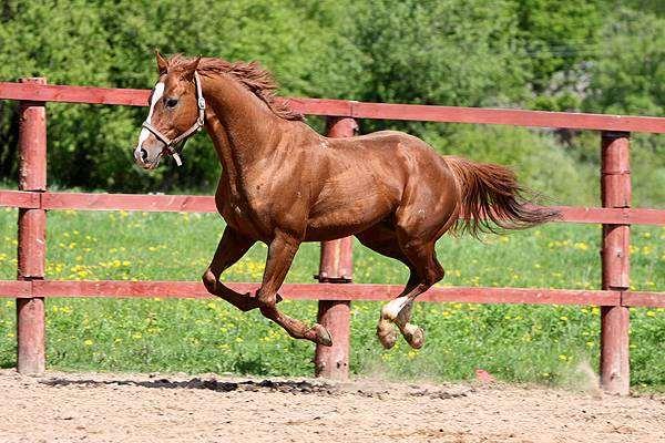 Бегущая лошадь, фото лошади фотография