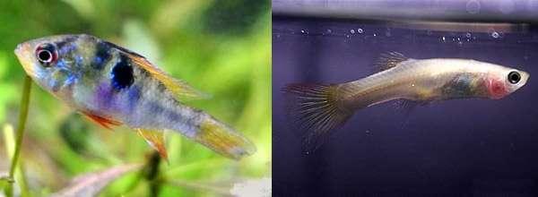 Инфекционные болезни рыб возбудители заболевания инфекции  Инфекционные заболевания у рыб