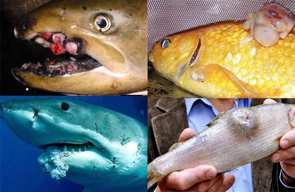 Рак у рыб опухоли у рыб симптомы доброкачественные опухоли  Рак опухоли у рыб