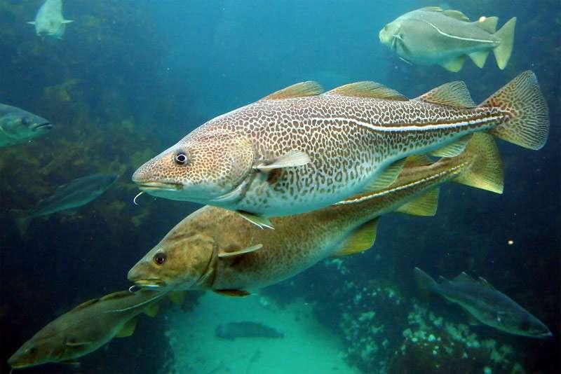 Тресковые рыбы gadidae фото среда обитания промысловое значение  Атлантическая треска gadus morhua фото фотография