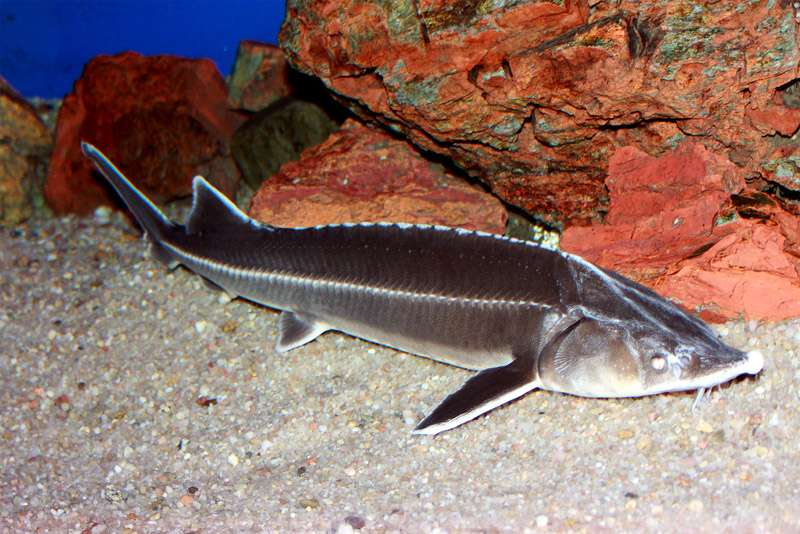 Стерлядь (Acipenser ruthenus), фото фотография осетровые рыбы