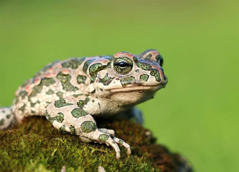 Зрение слух и голос амфибий жабы хвостатые бесхвостые амфибии  Зрение слух и голос амфибий