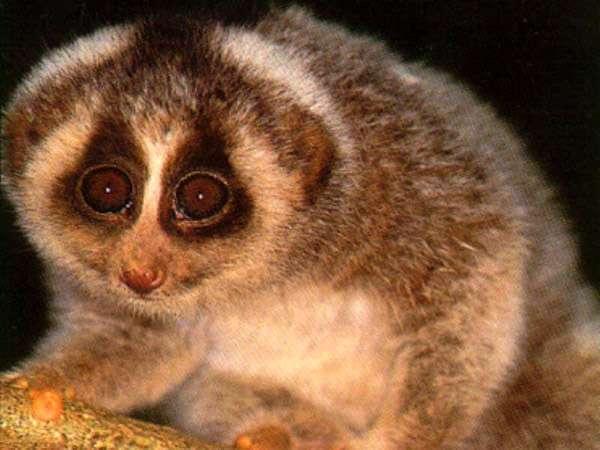 Толстый лори (Nycticebus), фото фотография приматы