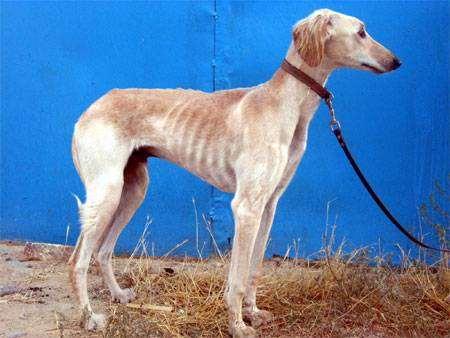 Тазы, среднеазиатская борзая, фото породы собак фотография