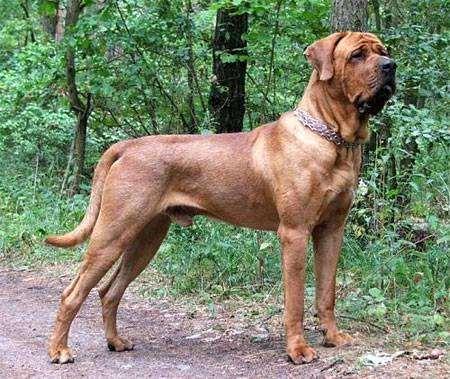 Тоза, тоса-ину, фото породы собак фотография