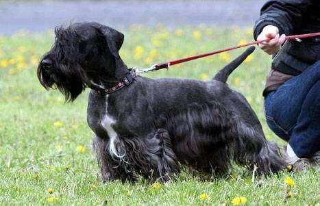 Чешский терьер, фото породы собак фотография