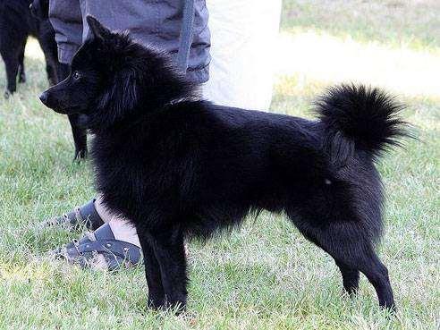 Шкиперке, шкиперская собака, фото породы собак фотография