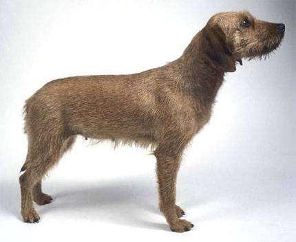 Штайерская жесткошерстная горная гончая, фото породы собак фотография