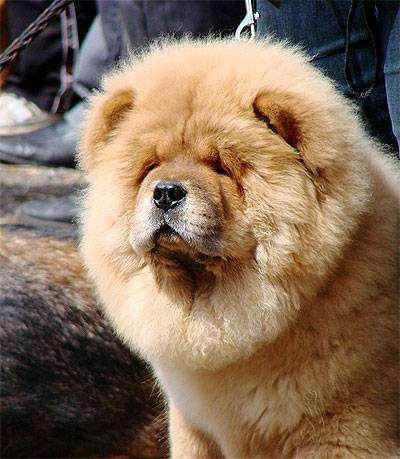 Чау-чау, фото породы собак фотография