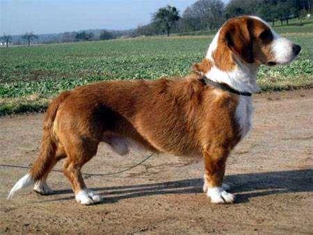 Датская таксообразная гончая, фото породы собак фотография