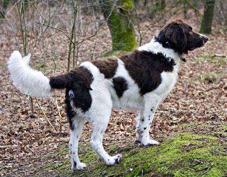 Дрентская куропаточная собака, фото породы собак фотография
