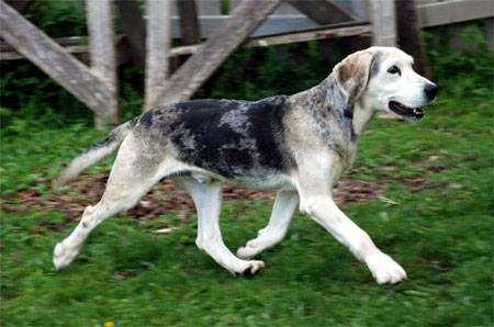 Дункер, норвежская гончая, фото породы собак фотография