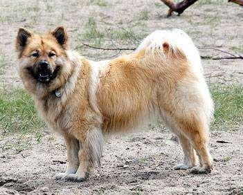 Евразийский шпиц, шпиц, фото породы собак фотография