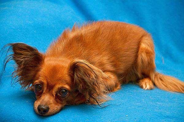 Длинношерстный русский той-терьер, фото собаки, породы собак фотография