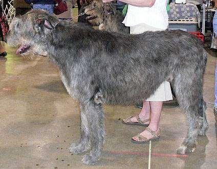 Ирландский волкодав, фото породы собак фотография