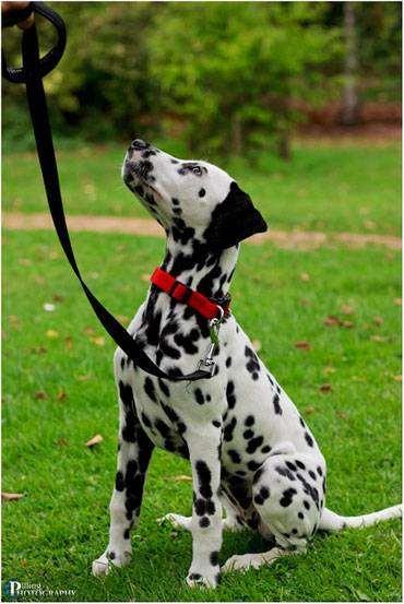 Далматин, далматинец, фото породы собак фотография