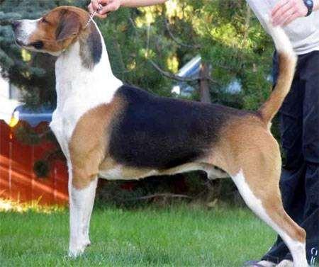 Английский фоксхаунд, фоксхаунд, фото породы собак фотография