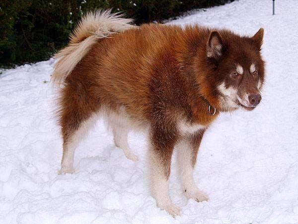 Эскимосская лайка фото породы собак