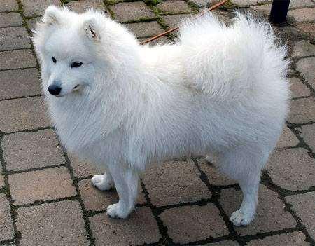 Японский шпиц, шпиц японский, фото породы собак фотография