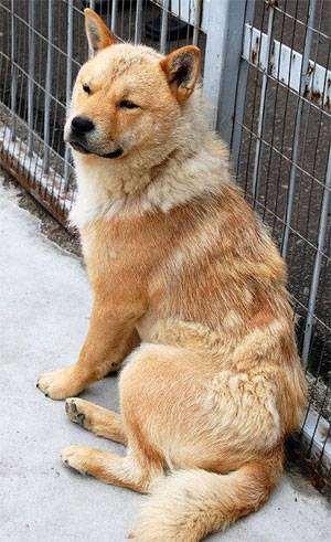 Хокайдо (айну дог, фото породы собак фотография