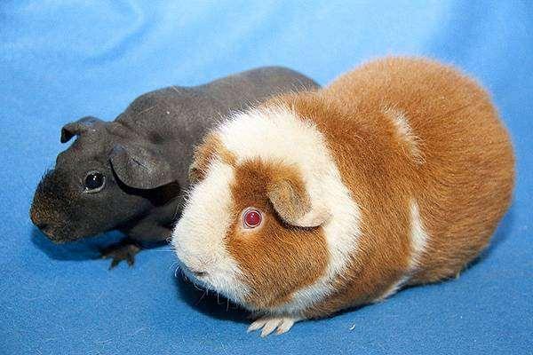 Морские свинки американский тедди и скинни, фото грызуны фотография