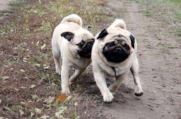 Мопсы, фото собаки фотография породы собак