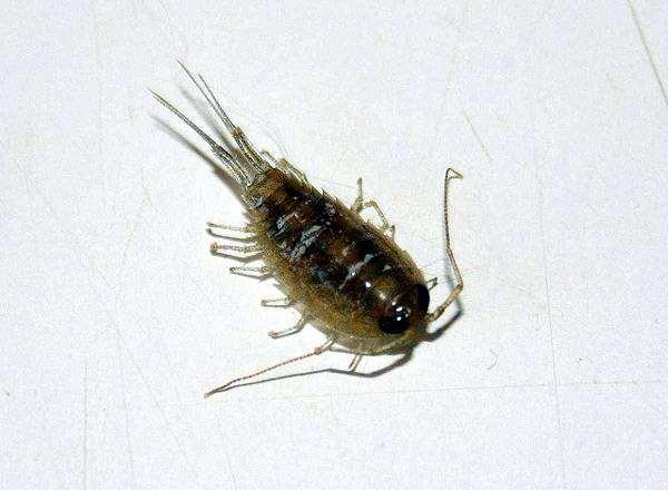 Copepoda, веслоногий рачок, копепод, фото новости о животных фотография