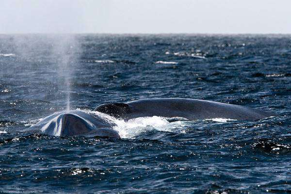 Синий (голубой) кит (Balaenoptera musculus), фото новости о животных фотография киты