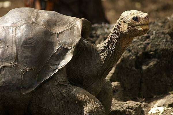 Галапагоссская гигантская черепаха (Megalochelys gigantea), фото новости о животных фотография рептилии
