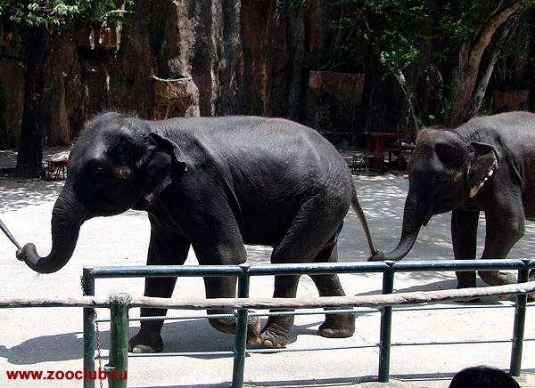 Индийские слоны, азиатские слоны (Elephas maximum), фото новости о животных фотография