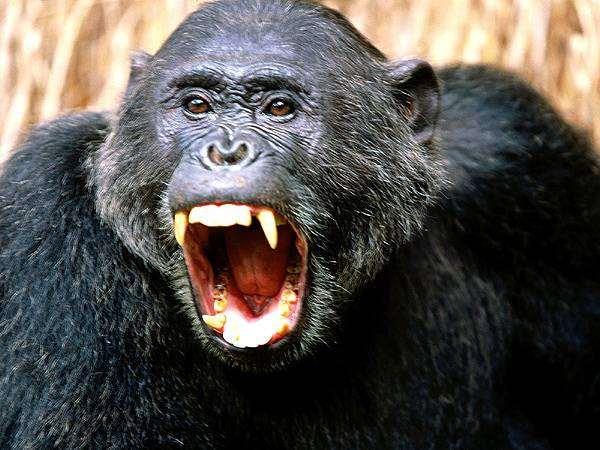 Шимпанзе (Pan troglodytes), фото новости о животных фотография приматы
