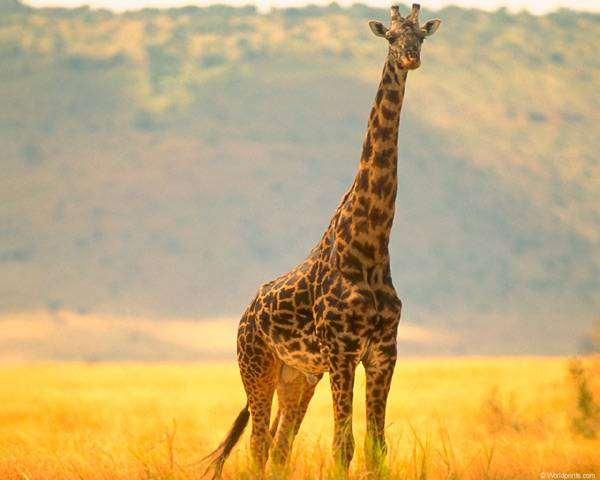 Жираф (Camelopardalis giraffa), фото новости о животных парнокопытные фотография